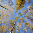 Converging at the top of the trees in autumn forest — Stock Photo