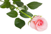 Elegant sweet fresh pink rose — Stock Photo