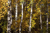 The trunks of birch trees with yellow and orange fall foliage — Stock Photo