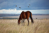 Bay horse eating grass — Stock Photo