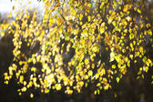 Autumn leaves are bright yellow birch — Stock Photo