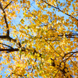 The bright yellow autumn leaves of birch — Foto de Stock