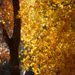 Foto Stock: Bright yellow autumn leaves