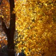 Foto de Stock  : Bright yellow autumn leaves