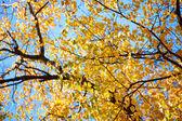 Autunno giallo brillante foglie di betulla — Foto Stock