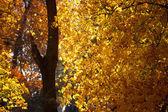 明亮黄色秋天的树叶 — 图库照片