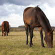 Two young bay horses grazing in the autumn field — Stock Photo