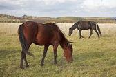 Two bay horses grazing — Stock Photo