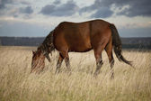 Baai paard schaafwonden onder de droog gras — Stockfoto