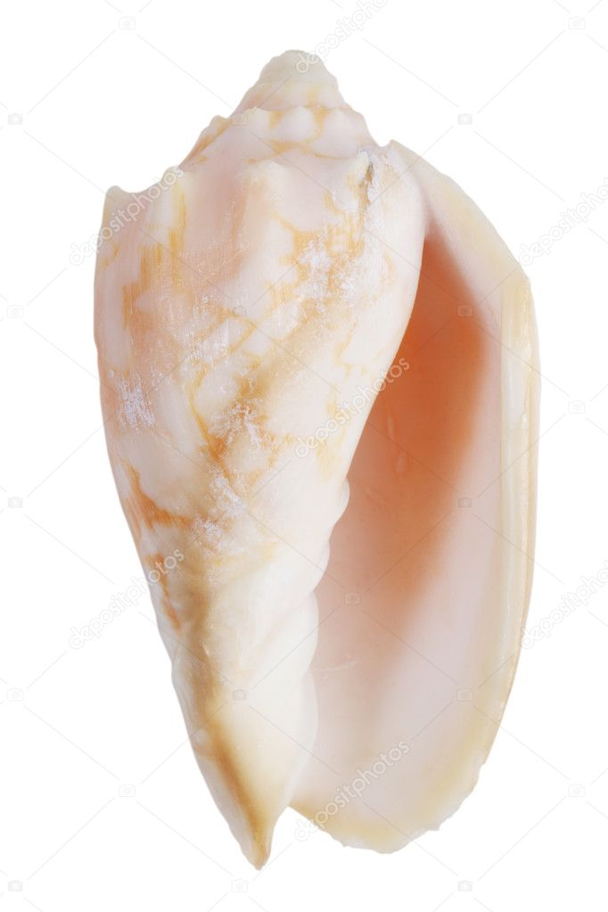 Nacre mollusk ocean on a white background  Stock Photo #9209334