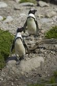 African Penguins at Bettys Bay — Stock Photo