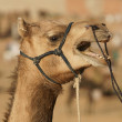 Camel Portrait — Stock Photo #7989641