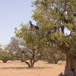 Tree Climbing Goats — Stockfoto #8049082