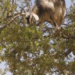 Royalty-Free Stock Photo: Tree Climbing Goat