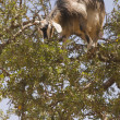 Tree Climbing Goat - Stock Photo