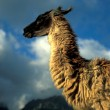 Sunlit Lama — Stock Photo