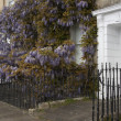 Flowering Wisteria — Stock Photo