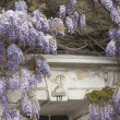 Flowering Wisteria — Stock Photo #8049307