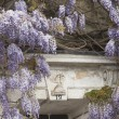 Flowering Wisteria - Stock Photo