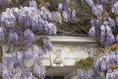 Flowering Wisteria — Stock Photo