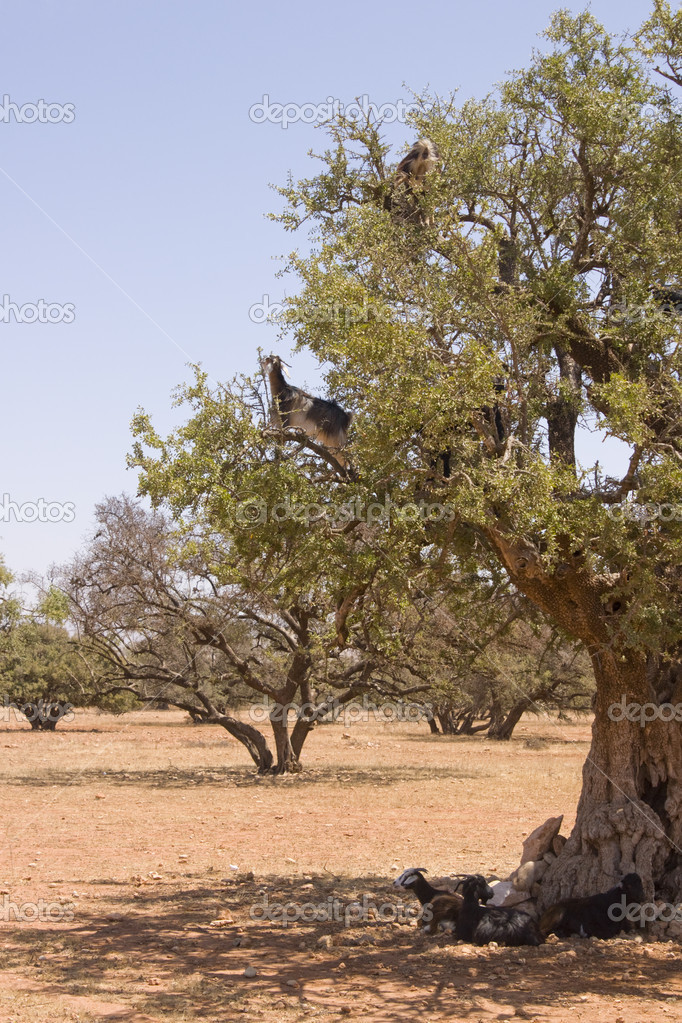 Goats feeding high in the branches of a tree in Morocco  Stock Photo #8049082