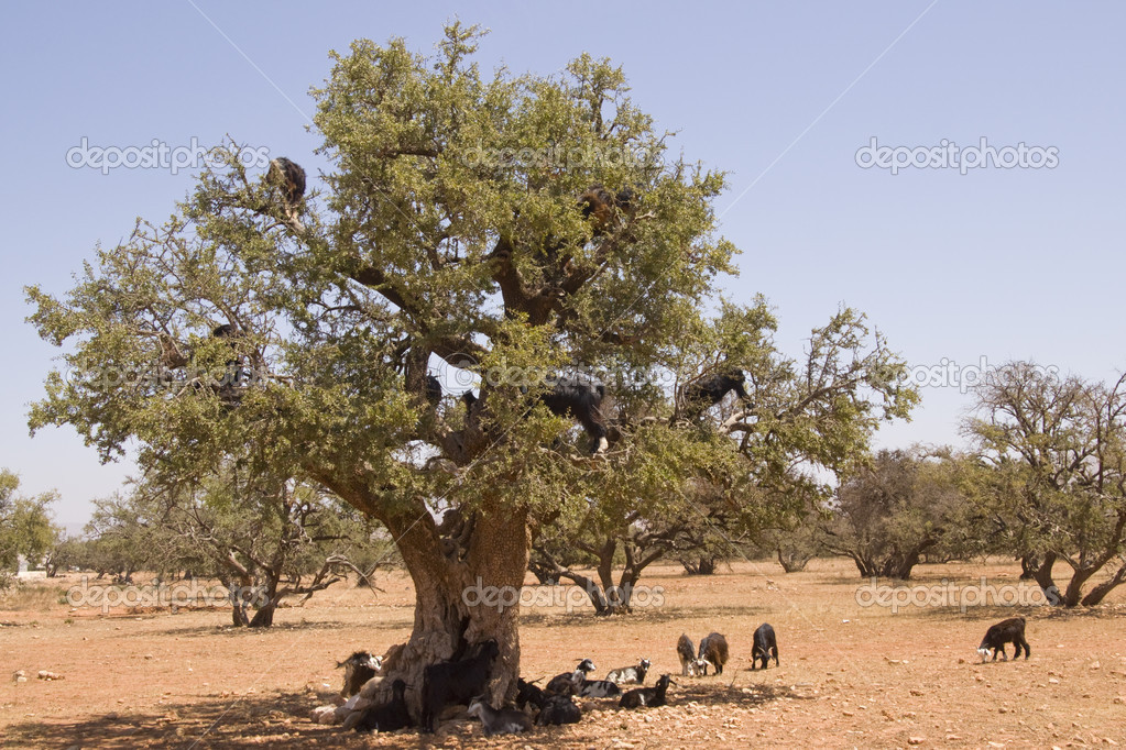 Goats feeding high in the branches of a tree in Morocco — Stock Photo #8049093