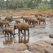 Pinnawela Elephant Orphanage — Stock Photo #8283462