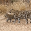 Wild Leopard and Cub - Stock Photo