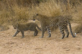 Leopard and Cub — Stock Photo