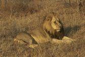 Erkek Afrika aslanı — Stok fotoğraf