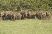 Kudde van wild aziatische olifanten — Stockfoto