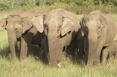 Wild Elephants — Stock Photo