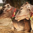 Decorated Cattle — Foto Stock