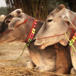 Stok fotoğraf: Decorated Cattle