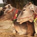 dekore edilmiş sığır — Stok fotoğraf