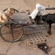 Goat in Rickshaw - Zdjcie stockowe
