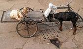 Koza w rikszy — Zdjęcie stockowe
