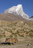 Yak in the Himalayas — Stock Photo