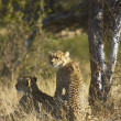 Wild Cheetah and Cub — Stock Photo