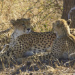 Stock Photo: AfricCheetah and Cub