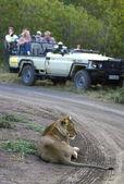 Safari — Foto Stock
