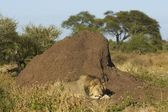 Asleep by a Termite Mound — Stock fotografie