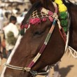 Marwari Horse - Stock Photo