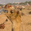 Camel Gets Beauty Treatment — Stock Photo