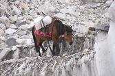 Eis-pony — Stockfoto