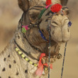 Stock Photo: Portrait of Camel