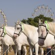 White Marwari Horses — Stock Photo