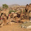 Stock Photo: Camels for Sale at Pushkar Fair