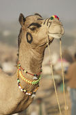 Regal Camel — Stock Photo