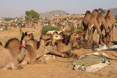 Camels for Sale at the Pushkar Fair — Stock Photo